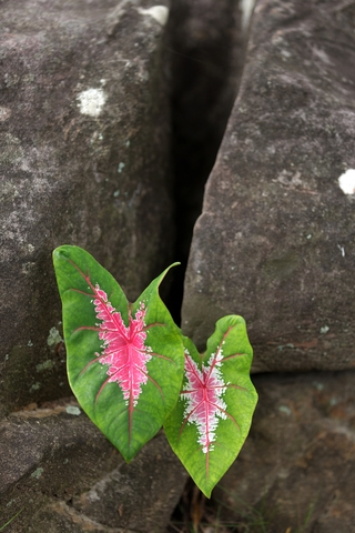 Caladium leaves in rock full